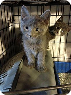 Russian Blue Kitten for adoption in Glen cove, New York - River n Phoenix