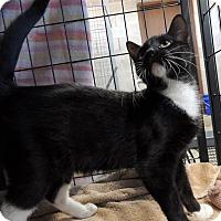 Domestic Shorthair Cat for adoption in Sullivan, Missouri - Suki
