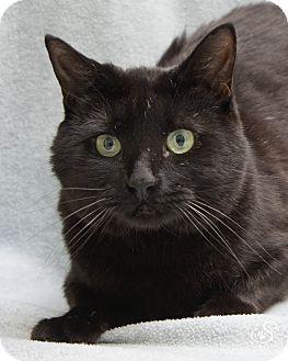 Domestic Shorthair Cat for adoption in Fort Collins, Colorado - Samurai