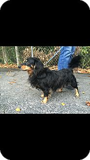 Dachshund Mix Dog for adoption in Hainesville, Illinois - Orion