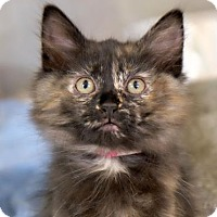 Adopt A Pet :: Splendora - Ann Arbor, MI