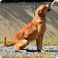 Retriever (Unknown Type)/Shepherd (Unknown Type) Mix Dog for adoption in Lincolnton, North Carolina - Hugo