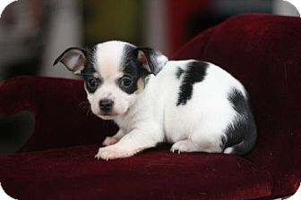 Chihuahua Puppy for adoption in Phoenix, Arizona - BIGGIE
