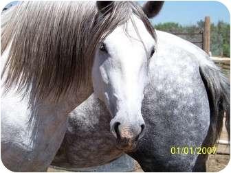 Andalusian/Percheron Mix for adoption in Pueblo, Colorado - Pilar