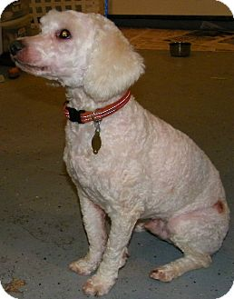 Cockapoo Mix Dog for adoption in South Amboy, New Jersey - Sonny