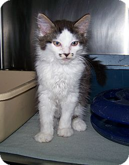 Domestic Mediumhair Kitten for adoption in Dover, Ohio - Bucky