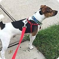 Adopt A Pet :: Mickey In Dallas ADOPT PENDING - Dallas/Ft. Worth, TX