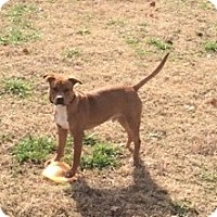 Adopt A Pet :: Chance - Greenville, SC