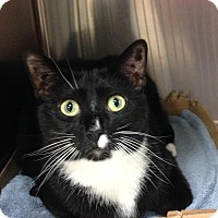 Adopt A Pet :: Mittens - East Brunswick, NJ