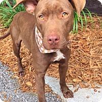 Adopt A Pet :: Loring - 2 years old - Charleston, SC