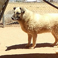 German Shepherd Dog Mix Dog for adoption in Apple Valley, California - Dusty
