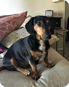 Dachshund Dog for adoption in Forest Ranch, California - Sid