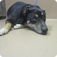 Adopt A Pet :: Roxy - Reno, NV