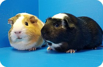 Guinea Pig for adoption in Lewisville, Texas - Flower and Thumper