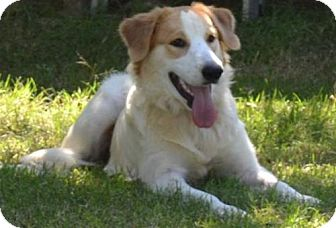 Brittany/Great Pyrenees Mix Dog for adoption in St. Louis, Missouri - TX/Samantha