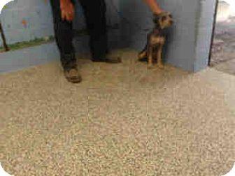 Miniature Schnauzer Mix Dog for adoption in San Bernardino, California - URGENT ON 10/22 San Bernardino