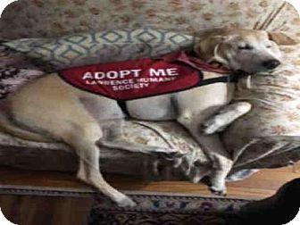 Labrador Retriever Mix Dog for adoption in Lawrence, Kansas - CLIFFORD