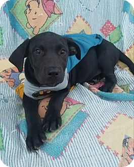 Labrador Retriever Mix Puppy for adoption in Manchester, New Hampshire - Joe