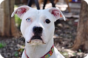Boxer/Pit Bull Terrier Mix Dog for adoption in College Station, Texas - Marbles