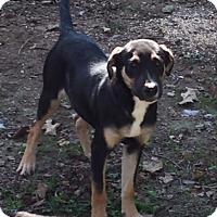German Shepherd Dog Mix Puppy for adoption in Albany, New York - Layla