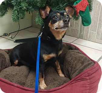 Miniature Pinscher/Chihuahua Mix Dog for adoption in Newburgh, Indiana - Chunky