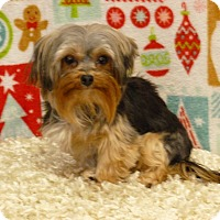 Overland Park Ks Poodle Toy Or Tea Cup Meet Tinker A