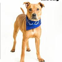 Labrador Retriever Mix Dog for adoption in Troy, Virginia - Mosby