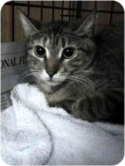 Domestic Shorthair Cat for adoption in Syracuse, New York - Juliet