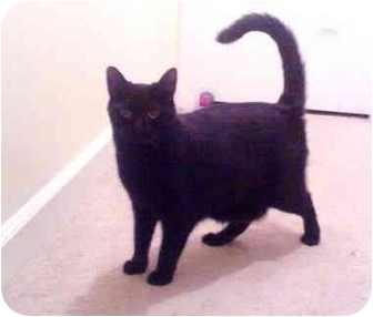 Bombay Cat for adoption in Greenville, South Carolina - Licorish