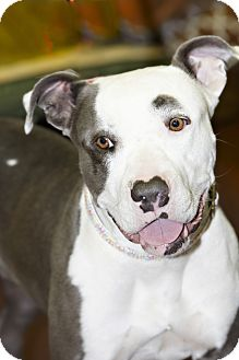 American Staffordshire Terrier Dog for adoption in Scottsdale, Arizona - Jersey