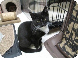 Domestic Shorthair Cat for adoption in Island Park, New York - Lenny