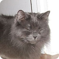 Domestic Longhair Cat for adoption in Mississauga, Ontario, Ontario - Odessa