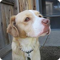 Adopt A Pet :: Buckaroo - Reno, NV