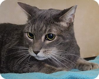 Domestic Shorthair Cat for adoption in Rochester, New York - Jack