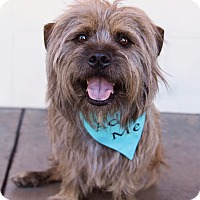 Adopt A Pet :: Chewie - Huntington Beach, CA