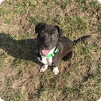 Adopt A Pet :: Clover - Dayton, OH