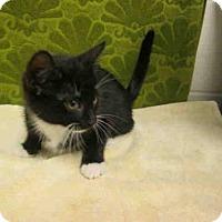 Adopt A Pet :: *BOOTS - Upper Marlboro, MD