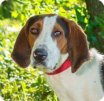 Treeing Walker Coonhound Mix Dog for adoption in Cincinnati, Ohio - Sadler