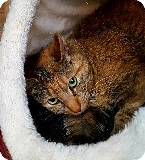 Domestic Shorthair Cat for adoption in Salisbury, Massachusetts - Gwen