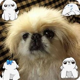 Pekingese Mix Dog for adoption in Chantilly, Virginia - Waddles