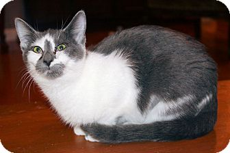 Domestic Shorthair Kitten for adoption in Morganton, North Carolina - Scout