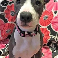 Adopt A Pet :: Cersei - Charlotte, NC