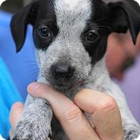 Adopt A Pet :: Amelia - Holly Springs, NC