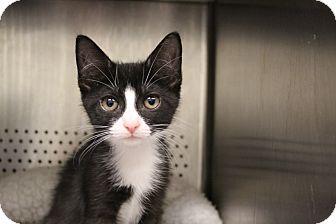 Domestic Mediumhair Kitten for adoption in Sarasota, Florida - Valerie