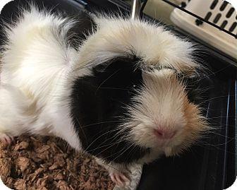 Guinea Pig for adoption in Baltimore, Maryland - Obie