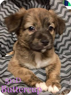 Basenji/Terrier (Unknown Type, Small) Mix Puppy for adoption in Spring, Texas - Buttercup