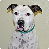 American Bulldog Mix Dog for adoption in Port Washington, New York - Bubba
