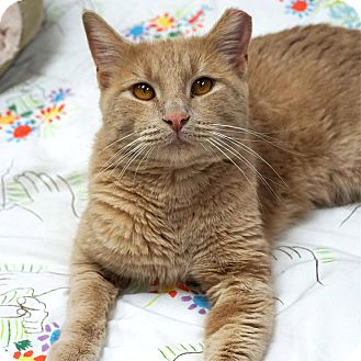 American Shorthair Cat for adoption in Naperville, Illinois - Leif