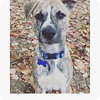 Adopt A Pet :: Dak - Nyack, NY