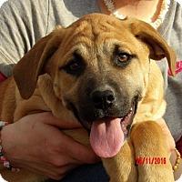 German Shepherd Dog/English Bulldog Mix Puppy for adoption in Williamsport, Maryland - Wren (20 lb) Unique & Smart
